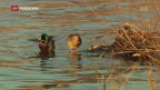 Video «15'000 freiwillige Vogelbeobachter sind unverzichtbar» abspielen