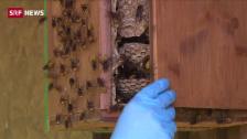 Link öffnet eine Lightbox. Video «Wespen sind Nützlinge» abspielen