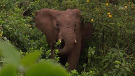 Link öffnet eine Lightbox. Video Die Elefanten vom Mount Kenya abspielen