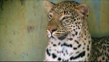 Link öffnet eine Lightbox. Video Zoff unter Leopardengeschwistern abspielen.