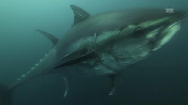 """Video «Blues des Roten Thunfischs (""""Hot Tuna"""",Rosenthal,Wild Logic LLC)» abspielen"""