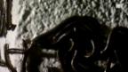 Video «Die Invasion der Tausendfüssler» abspielen