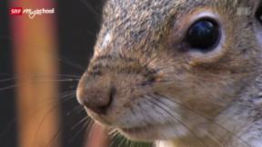 Video «Kampf der Hörnchen (3/3)» abspielen