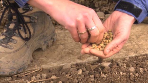 Video «Einheitsbrei beim Gemüse: Was man über Saatgut wissen muss» abspielen