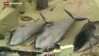 Video «Oberstes UNO-Gericht verbietet Japan umstrittenen Walfang» abspielen