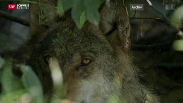 Video «Wolf zum Abschuss freigegeben» abspielen