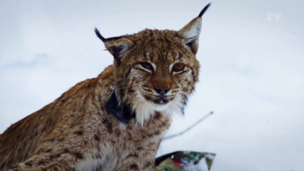 Video «Die Rückkehr der grossen Raubtiere» abspielen