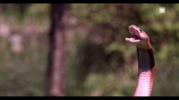 Video «Speikobras spritzen Gift» abspielen