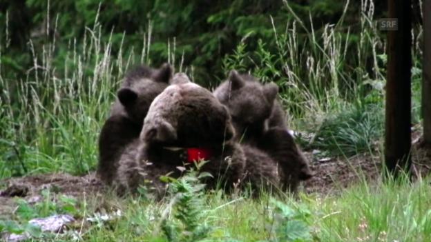 Video «Bärenmutter und ihre Jungen» abspielen