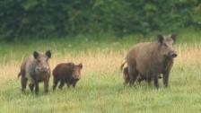 Video «Folge 12: «Jagdbar: Wildschweine»» abspielen