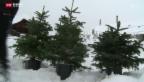 Video «Berner Brüder vermieten Mehrweg-Christbäume» abspielen