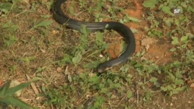 Schlangen als Erdbeben-Frühwarnsystem