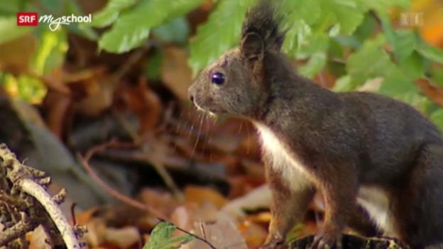 Video «Kampf der Hörnchen (2/3)» abspielen