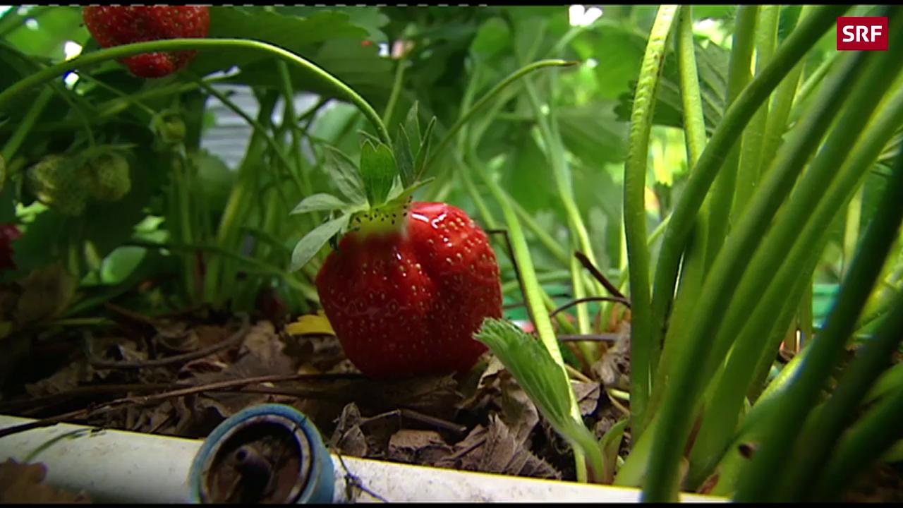 Erdbeeren als Umweltsünder