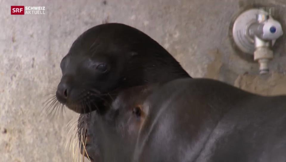 Seelöwenbaby im Kinderzoo