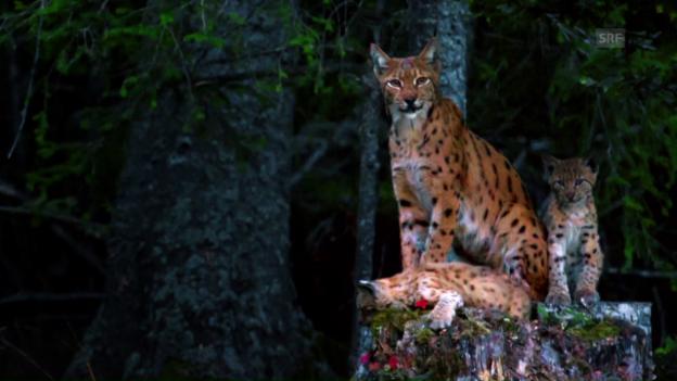 Video «Tierfotografie erfordert viel Geduld» abspielen