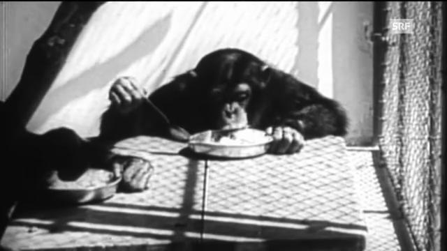 """Affen in Menschenrollen (aus """"Wir und der Zoo"""", SRF-Doku)"""