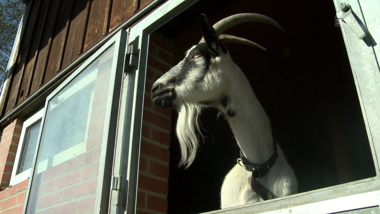 Vorschau «Tierische Freunde»: Pfauenziege Cirah