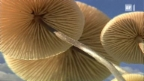 Video ««Einstein» in den Pilzen» abspielen