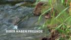 Video «NETZ NATUR: «Biber haben Freunde» (Schweizerdeutsch)» abspielen