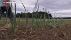 Video «Landwirtschaft freut sich über Regen» abspielen