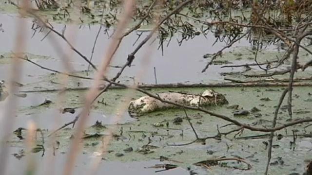 Umweltskandal: Tote Schweine in Shanghai angeschwemmt (unkommentiert)