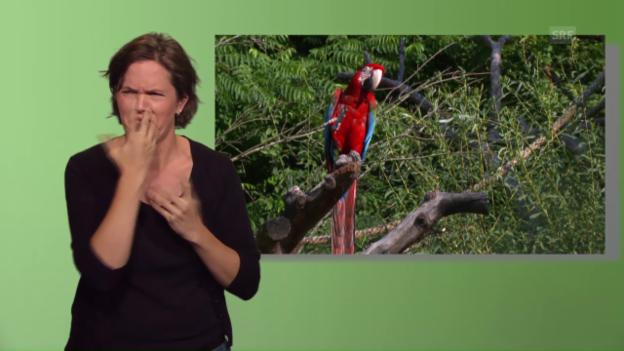 Video «Pätagei: Der schwarze Pacu (mit Gebärdensprache)» abspielen