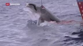 Video «Walfangverbot auf der Kippe» abspielen