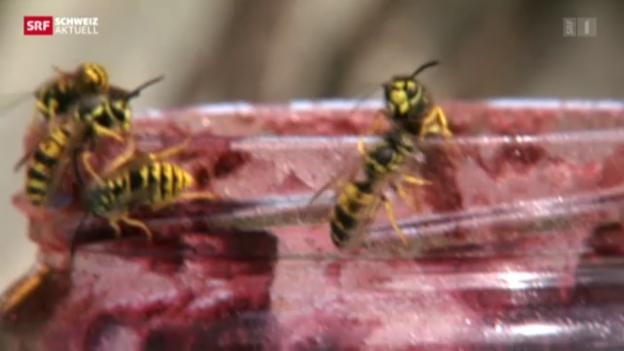 Video «Gelb-schwarze Plagegeister auf dem Vormarsch» abspielen