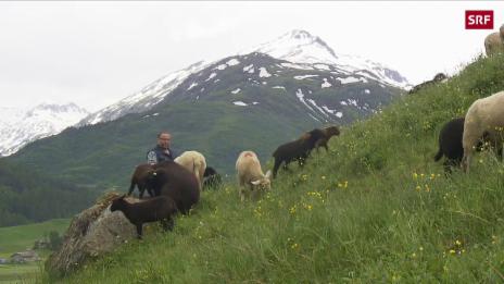 Link öffnet eine Lightbox. Video Schutz für den Wolf, die Schafe oder die Wanderer? abspielen