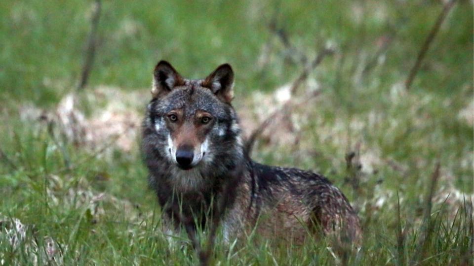 Graubünden will Wölfe abschiessen