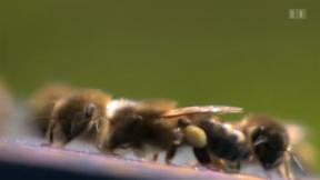 Video «Bienensterben» abspielen