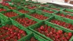Video «Ungewöhnlicher Tomatenverkauf» abspielen