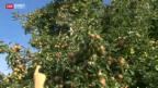 Video «Dicke Luft zwischen Obstproduzenten» abspielen