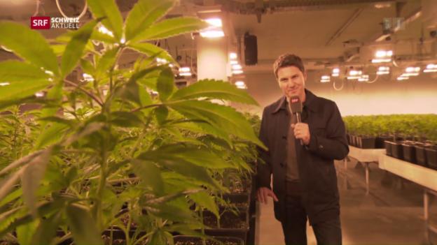 Video «Moderator Otmar Seiler beim Cannabis-Produzent» abspielen