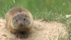 Video «Alpenmurmeltier – das Murmeli» abspielen
