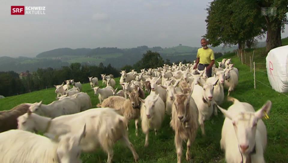 Die schwierige Suche nach neuen Ziegenmilch-Lieferanten