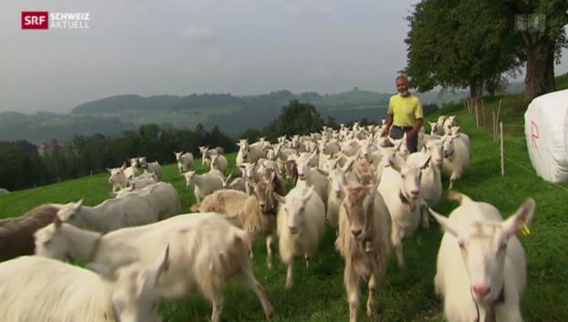 Video «Die schwierige Suche nach neuen Ziegenmilch-Lieferanten» abspielen