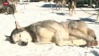 Video «Schlittenhunde-WM in Kandersteg» abspielen
