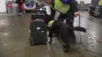 Video «Erster Tabak-Spürhund der Schweiz im Einsatz» abspielen