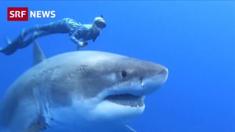 Link öffnet eine Lightbox. Video Weisser Hai sorgt weltweit für Schlagzeilen abspielen