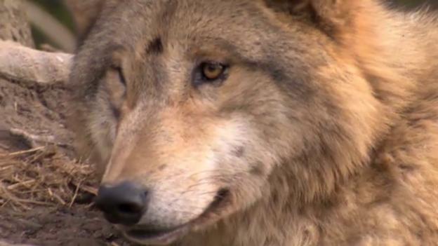 Video «Der Wolf: Böse und heimtückisch» abspielen