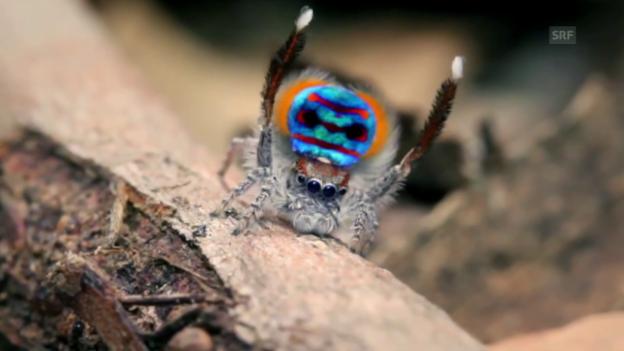 Video «Wie flirten Spinnen?» abspielen