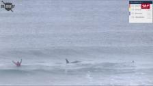 Link öffnet eine Lightbox. Video Zwei Killerwale besuchen die Surfer abspielen