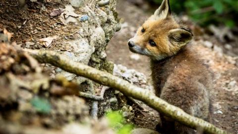 Animalis: Der Fuchs (6/10)