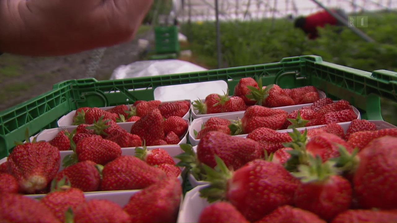 Bauern zahlen Hungerlöhne: Ausgenutzte Erdbeer-Pflückerinnen