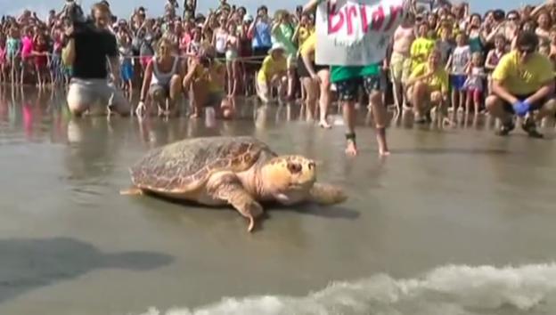 Video «Schildkröte darf wieder ins Meer» abspielen