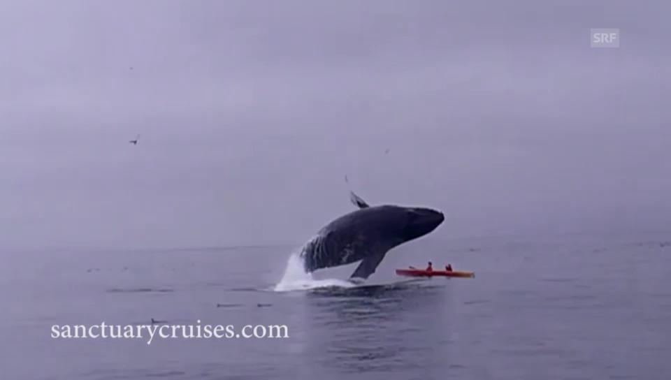 Wal lässt Kajak kentern
