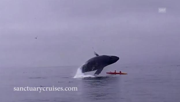 Video «Wal lässt Kajak kentern» abspielen