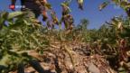 Video «Wie die Landwirtschaft mit dem Hitze-Sommer umgeht» abspielen